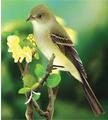 sw-willow-flycatcher