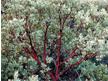bigberry-manzanita
