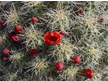 Mojave Kingcup Cactus a