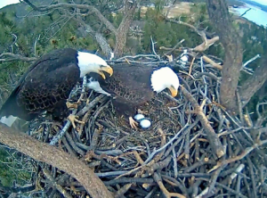 Bald Eagles Eggs