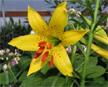 Lemon Lily 1